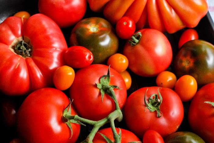 Płaza_pomidory6